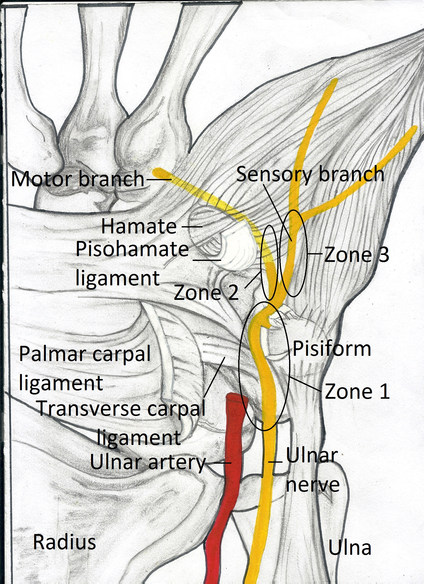 Guyon\'s Canal Anatomy, Pictures | eHealthStar