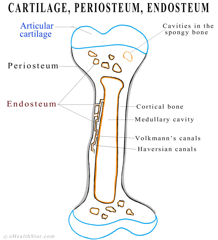 endosteum definition, function, location, structure, pictures, Human Body