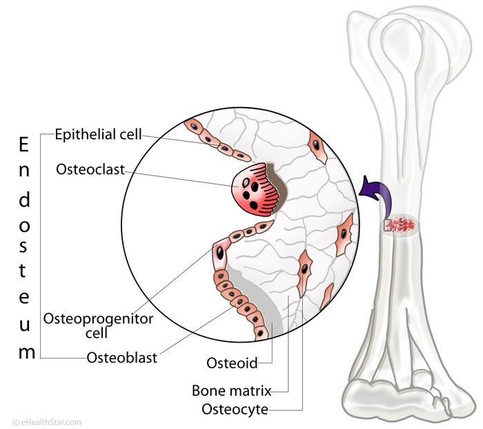 Endosteum Picture