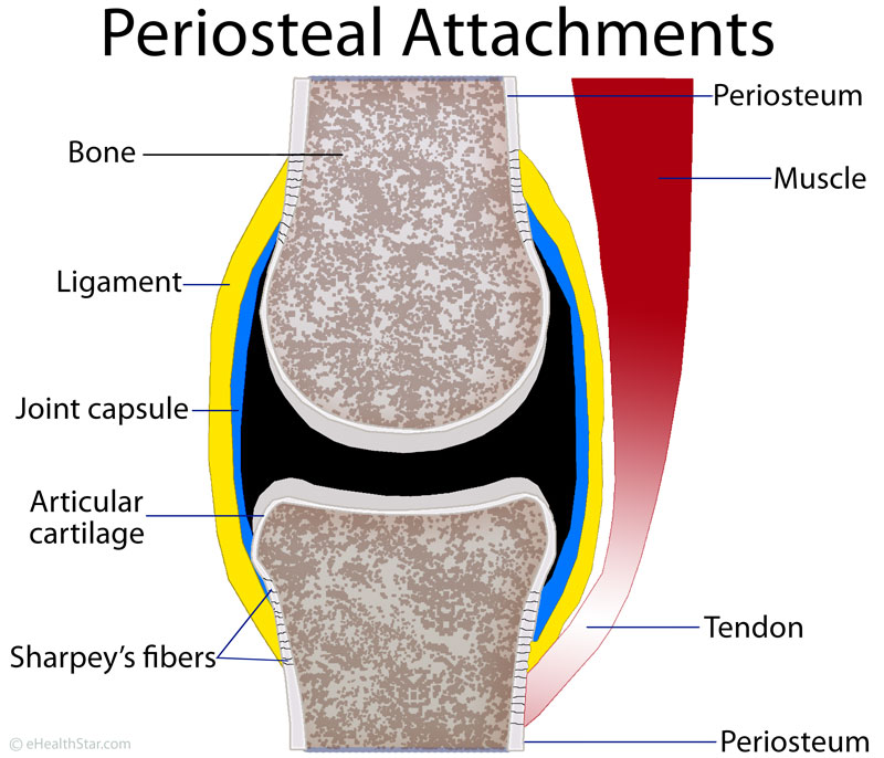 Periosteum, ligaments and tendons