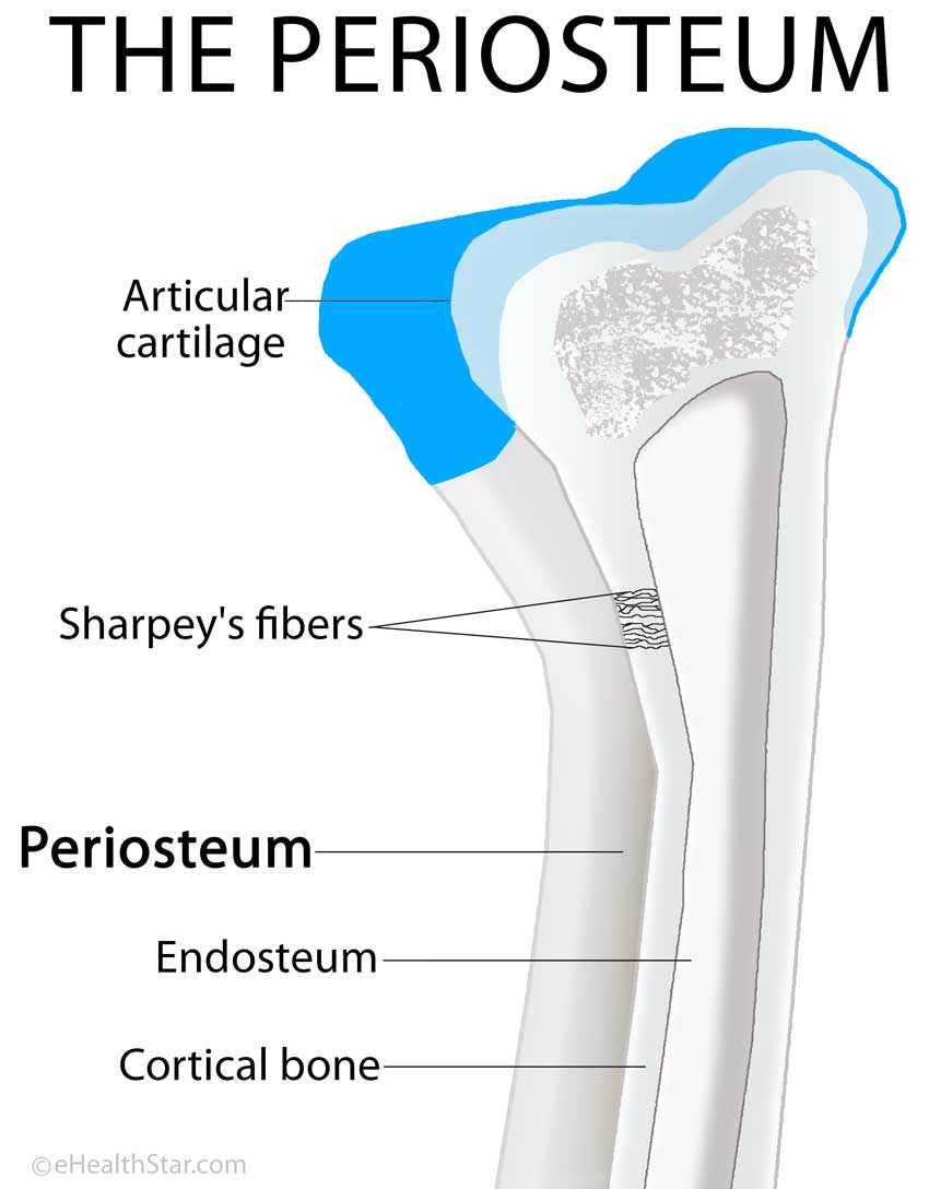 periosteum definition, location, anatomy, histology and function, Human Body