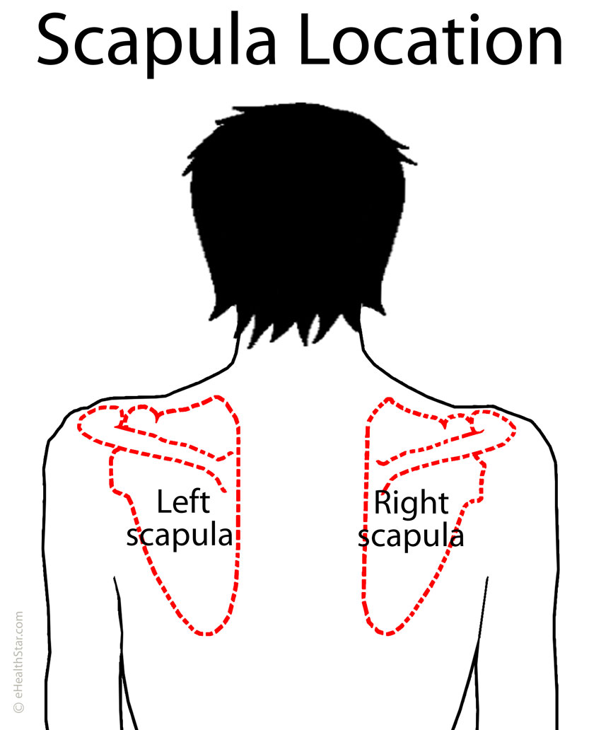 scapula (shoulder blade) anatomy, muscles, location, function, Muscles
