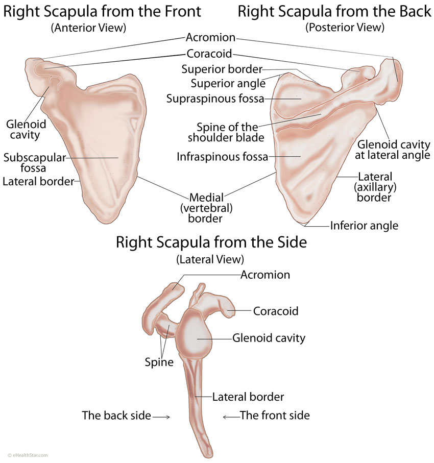 scapula (shoulder blade) anatomy, muscles, location, function, Human Body