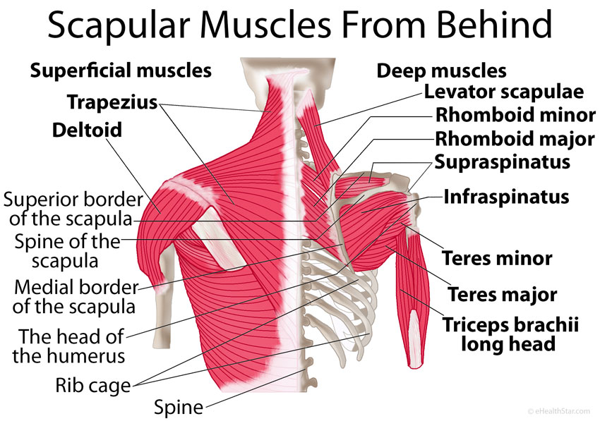 Shoulder blade muscles from behind picture