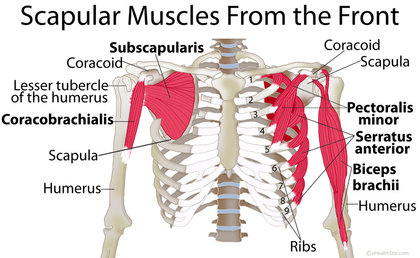 Scapula Shoulder Blade Anatomy Muscles Location Function