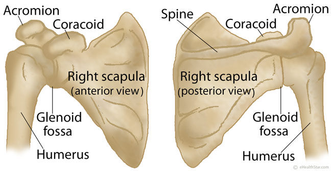 Scapula Shoulder Blade Anatomy Muscles Location