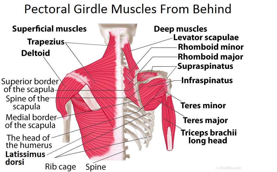 Picture of pectoral girdle muscles