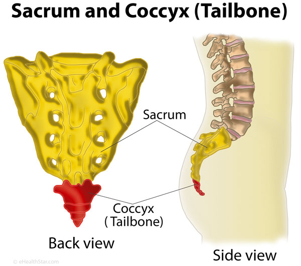 what is coccyx tailbone definition anatomy function