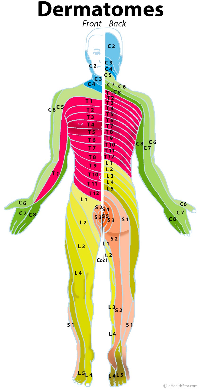 Dermatomes: cervical, thoracic, lumbar, scaral
