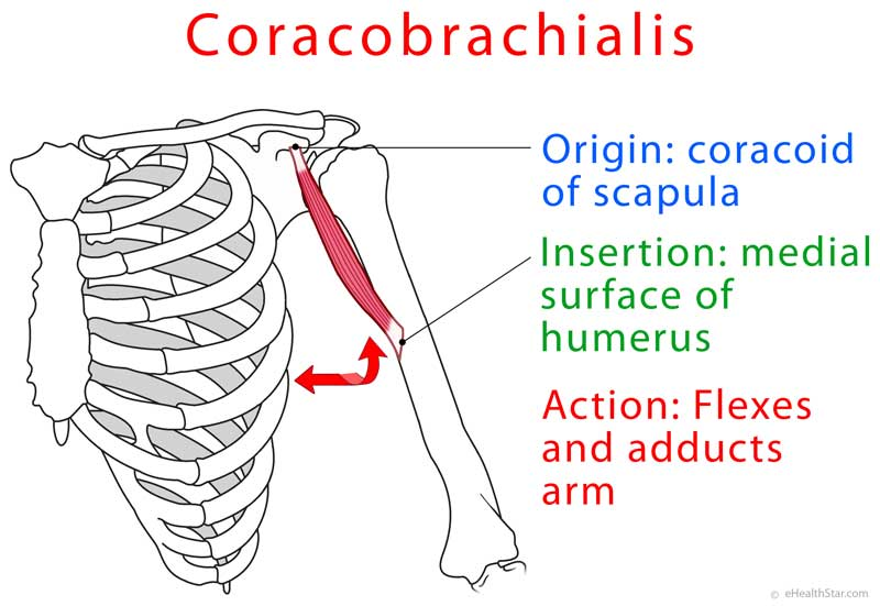 Coracobrachialis Muscle on upper arm blood supply