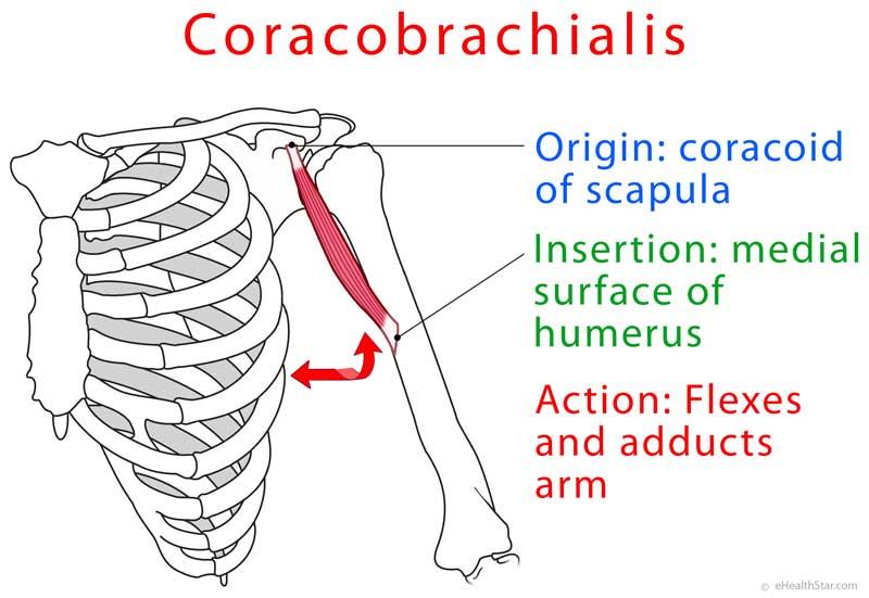 Coracobrachialis muscle anatomy