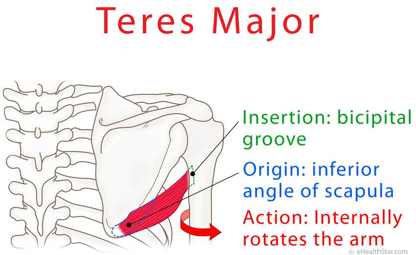 teres major origin, insertion, action, tear and pain test, Human body